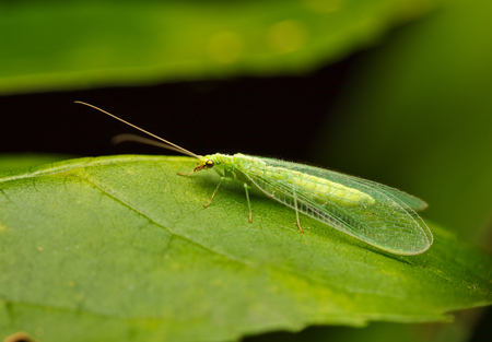 Low angle macro view of lacewing or golden-eyed fly(Chrysopidae, Chrysopa sp.) on green leaf