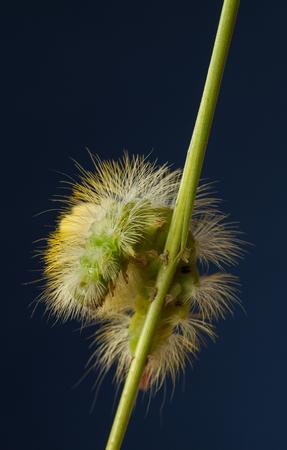 Macro of big yellow hairy caterpillar (Calliteara pudibunda) on cereal culm over dark blue background