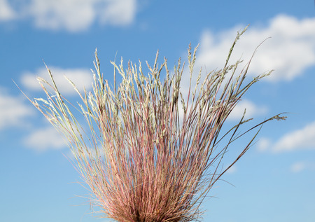 Close-up of dry wild grass tussock over blue cloudy sky background at summer Stock Photo
