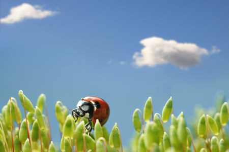 Macro low point of view on seven-spotted ladybird (Coccinella septempunctata) on top of Pohlia nutans moss green capsules over blue sky background with white clouds