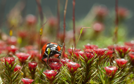 Macro en face of seven-spotted ladybird (Coccinella septempunctata) among blooming Haircap moss (Polytrichum piliferum) red gametophytes  Stock Photo