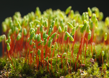 Macro of pohlia (Pohlia nutans) with green spore capsules on red stalks on dark background