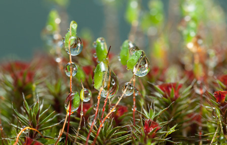 Macro low point of view of rain drops on pohlia (Pohlia nutans) green spore capsules among red blossom haircap moss (Polytrichum commune)