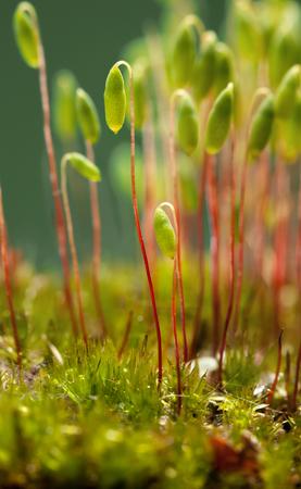Bryum 이끼 (Pohlia nutans)의 포자 캡슐의 매크로