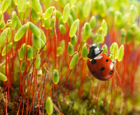 Seven-spotted ladybug (Coccinella septempunctata) clings on moss (Pohlia nutans) green sporophytes with red stalks