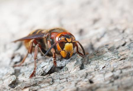 Macro del avispón gigante (Vespa crabro) en la superficie de madera de pino gris degradado, horizontal