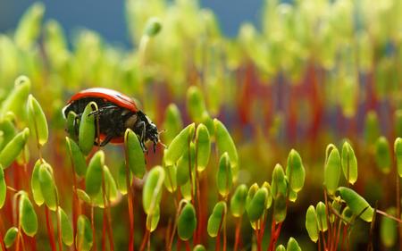 pohlia nutans 이끼에 무당 벌레 (Coccinella septempunctata)의 매크로 밑면보기