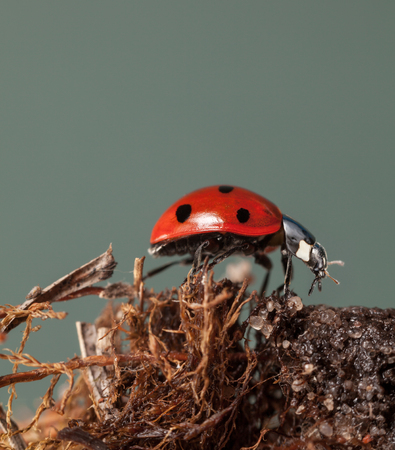 Macro low angle side view of seven-spotted ladybird (Coccinella septempunctata) sits on dry Sphagnum moss