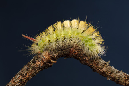 Macro side view of big yellow hairy caterpillar (Calliteara pudibunda) resting on curved branch over dark blue background