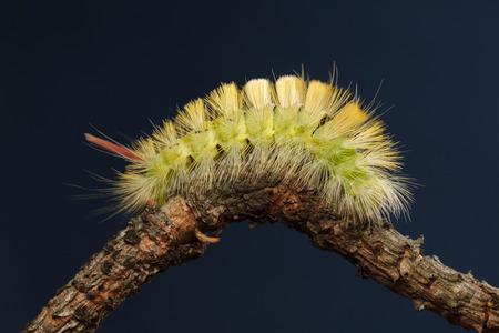 Macro side view of big yellow hairy caterpillar (Calliteara pudibunda) resting on curved branch over dark blue background