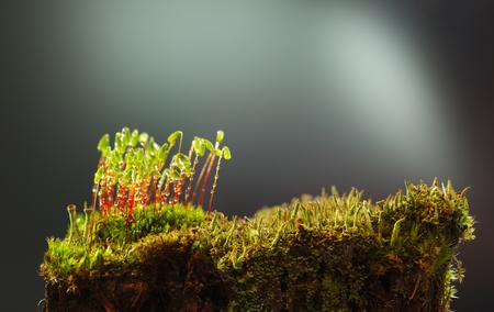 녹색 이끼 (Pohlia nutans)와 비 방울이 덮여 이끼와 오래 된 이끼 그 루터의 근접 촬영