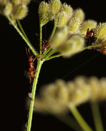 Macro of red ants and aphids colony cooperation on grass umbel  Stock Photo