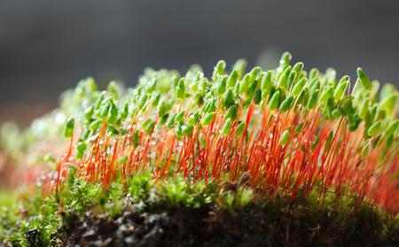매크로 bossum 이끼 (Pohlia nutans)의 빨간색 스토킹에 녹색 포자 캡슐과 이끼 hillock보기의 낮은 관점