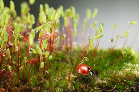 Macro of red seven-spotted ladybug (Coccinella septempunctata) on forest floor near Pohlia nutans moss patch with sporophytes capsules, covered by dew drops