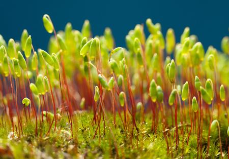 pohlia moss (Pohlia nutans)의 매크로 파란색 배경 위에 빨간색 줄기에 녹색 포자 캡슐