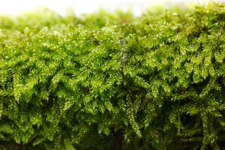 Macro of moss (Bryophyta) texture at spring  Stock Photo