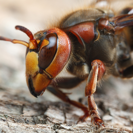 Macro low point of view on hornet (Vespa crabro) head and thorax