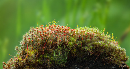 Macro low point of view of blooming juniper haircap moss (Polytrichum commune) with red sporophytes and lichen on forest floor hillock