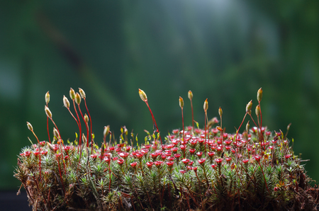 Low point of view on blooming haircap moss (Polytrichum commune) with red sporophytes and seta