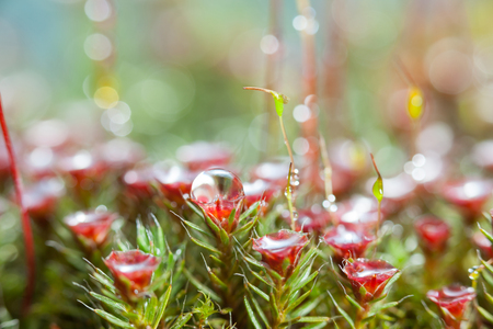 Low point of view on mossy forest floor with red blooming haircap moss (Polytrichum commune)