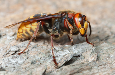 Giant hornet (Vespa crabro) on grey weathered pine wood surface, low angel side view  Stock Photo