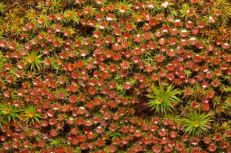 Macro top view on red moss blossom (Polytrichum commune) with rain drops