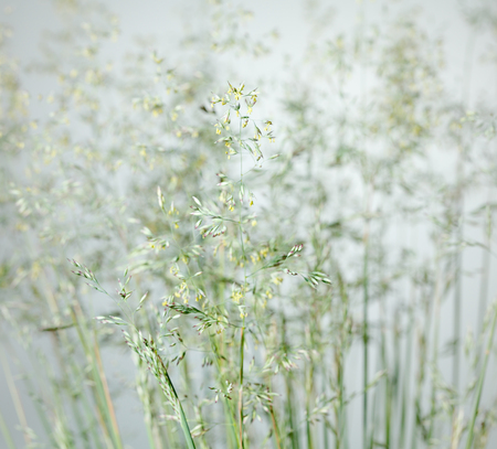 Macro of wild cereal grass (Poa annua) bloom over panicles background