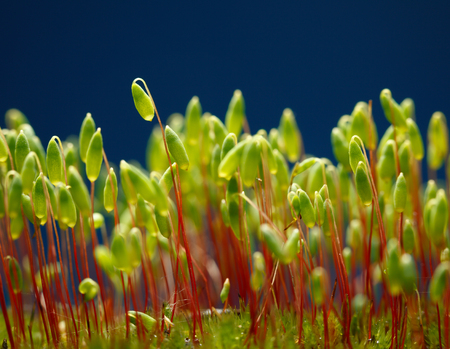 Macro of pohlia moss (Pohlia nutans) green spore capsules on red stalks, low point of view