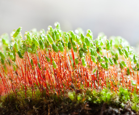 Macro of Pohlia moss (Pohlia nutans) green spore capsules on red stalks with dew drops