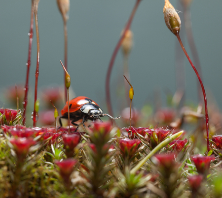 Macro low angle view of seven-spotted ladybird (Coccinella septempunctata) walking on blooming red Haircap moss (Polytrichum piliferum)