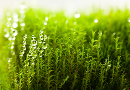 Macro of dew drops on bright green moss, low point of view