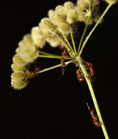 Macro of plant louse colony and red ants feeding on it under grass umbel  Stock Photo