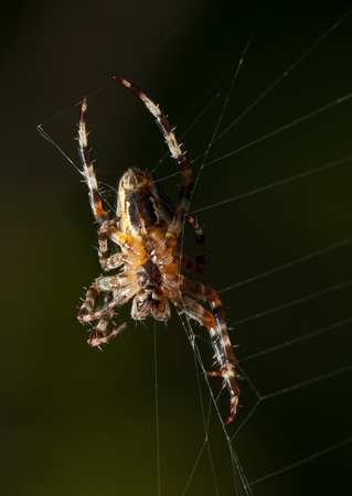 Macro of big cross spider repairing its web,  underside view  Stock Photo