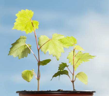 Macro of two growing grape seedlings over blue sky background at summer sunny day