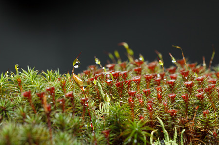 Rain drops on mossy forest floor with red blooming haircap moss (Polytrichum commune), lichen and moss seta