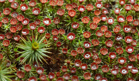 Macro top view on red sporophytes of blooming haircap moss (Polytrichum commune) wet after the rain 스톡 콘텐츠