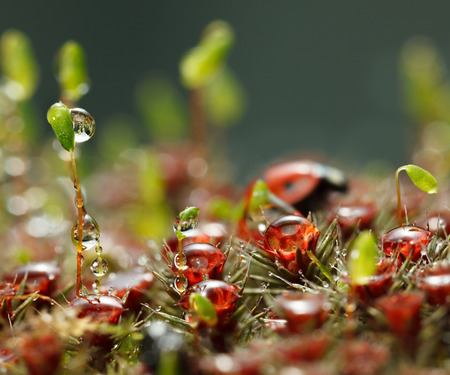 Macro of forest floor with drops on red sporophytes of Haircap moss, green of Pohlia nutans, and ladybird out of focus on background 스톡 콘텐츠