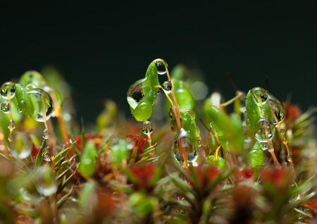 Macro of rain drops on moss (Pohlia nutans) spore capsules