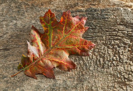 Closeup of red oak autumn leaf over aged grungy wood background harsh lighten to emphasize texture Stok Fotoğraf