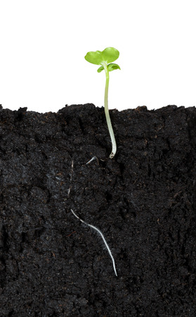 Macro side cut of growing vegetable sprout in soil with first leaves isolated on white