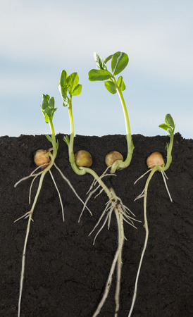 Closeup under ground cutaway view of growing pea (Pisum sativum) seedlings with roots in soil over blue sky background, vertical