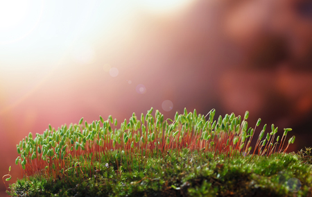 Macro low point of view on moss (Pohlia nutans) with green spore capsules on red stalks at sunset, lens flare effect