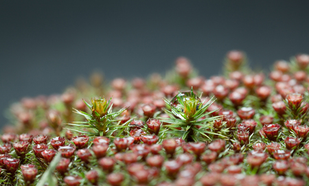 Macro low point of view on forest floor with red blossom moss (Polytrichum commune)