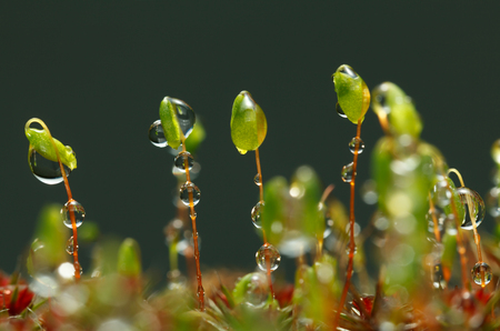 Pohlia moss spore capsules stalks with rain drops, low point of view Stock Photo