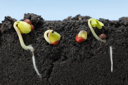 Cutaway view of four cabbage seeds (Brassica) growth in soil under ground, over blue sky background