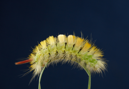 Macro side view of big yellow hairy caterpillar with red tail (Calliteara pudibunda) climbing over curved grass blade