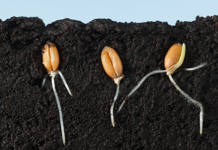 Macro side cut of three wheat kernels with first roots in dark soil