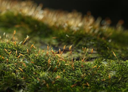 Pohlia moss (Pohlia nutans)  with dry sporophyte on forest floor, backlit