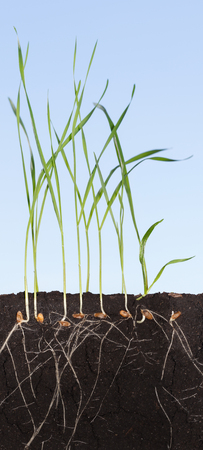 Closeup full length sectional view of wheat sprouts in soil over blue sky background - roots, grains and blades