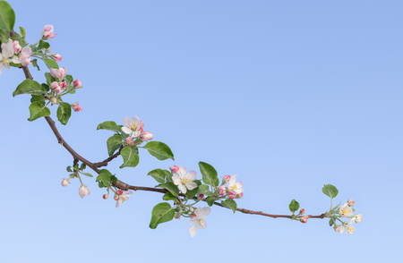 Apple blooming twig at spring, white flowers and pink flower buds over blue sky background, copy space for the text